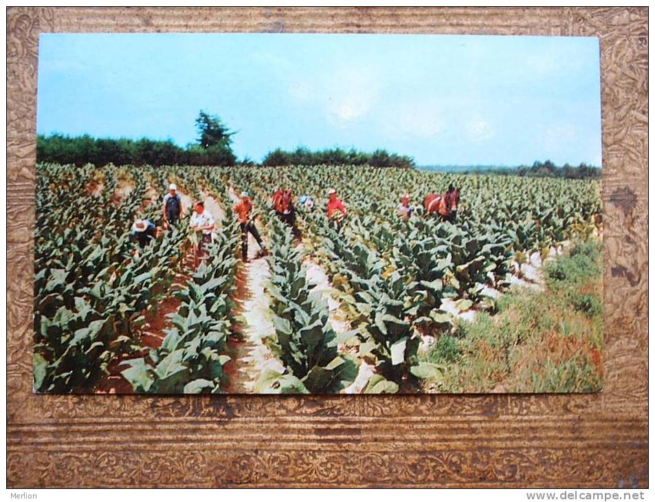 Harvesting Tobacco   - Cca 1960´s  VF    D12971 - Cultures