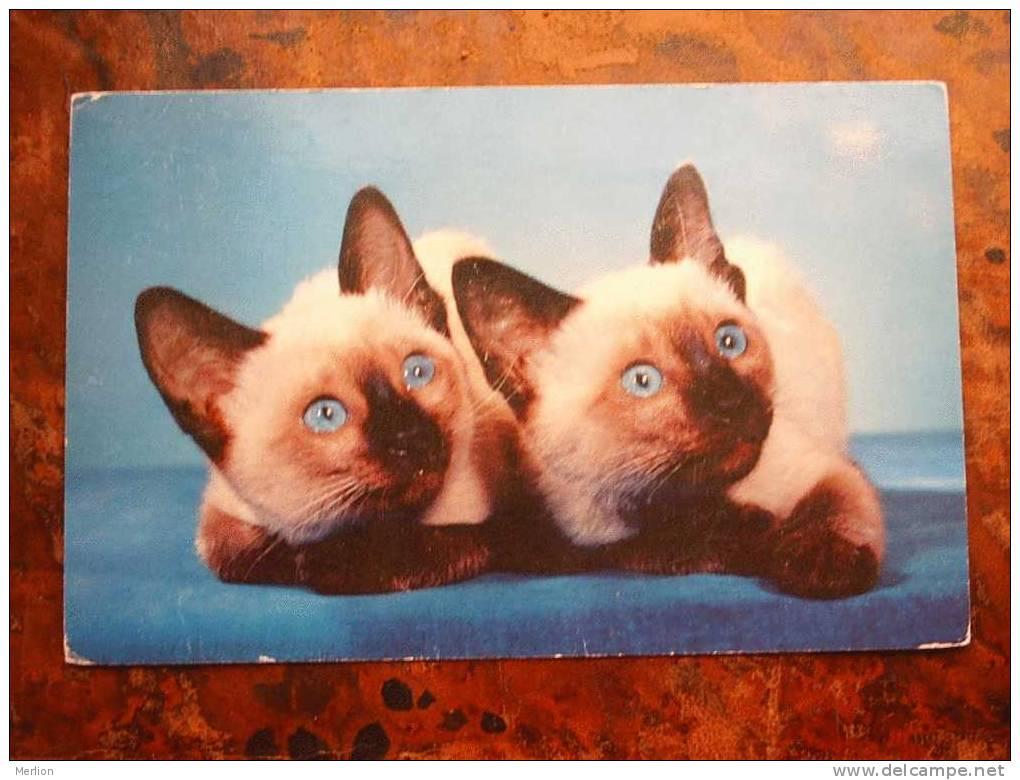 Siamese Cats - Chat -Cat - Kat   F   Cca 1960´s     D13120 - Katten