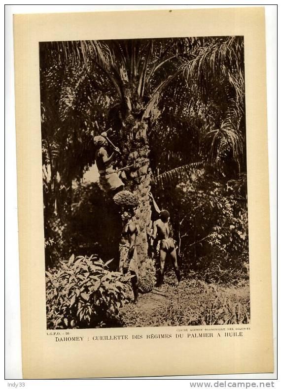 - DAHOMEY   CUEILLETTE DES REGIMES DU PAMIER A HUILE  . REPRO DE PHOTO DES ANNEES 1930 - C. Groenteplanten & Groenten