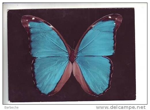 PAPILLON .- Morpho Nestira (Brésil) .164 - Schmetterlinge
