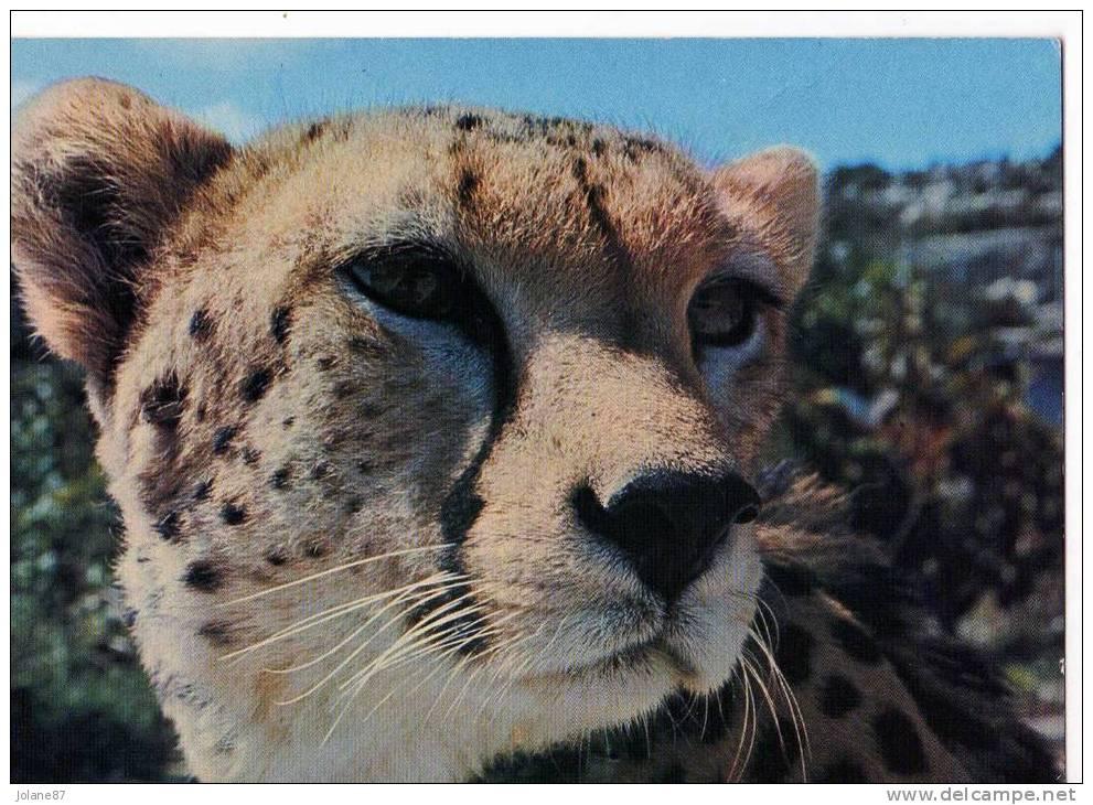CPM             GUEPARD          CHATEAU DE THOIRY EN YVELINES - Lions