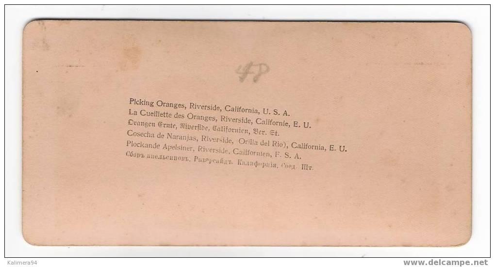PICKING  ORANGES , RIVERSIDE , CALIFORNIA , U.S.A.  /  RARE  PHOTOGRAPHIE  STEREO , Fin XIXème  ( Tirage Argentique ) - Photos Stéréoscopiques