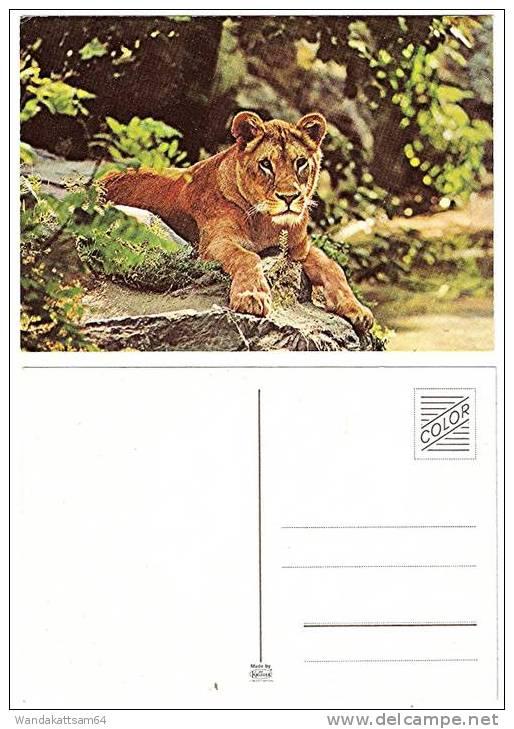 AK Löwe Liegend Auf Einem Stein - Lions
