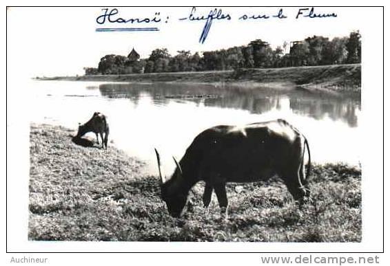 Carte Photo - Hanoï Buffles Sur Le Fleuve - Vietnam