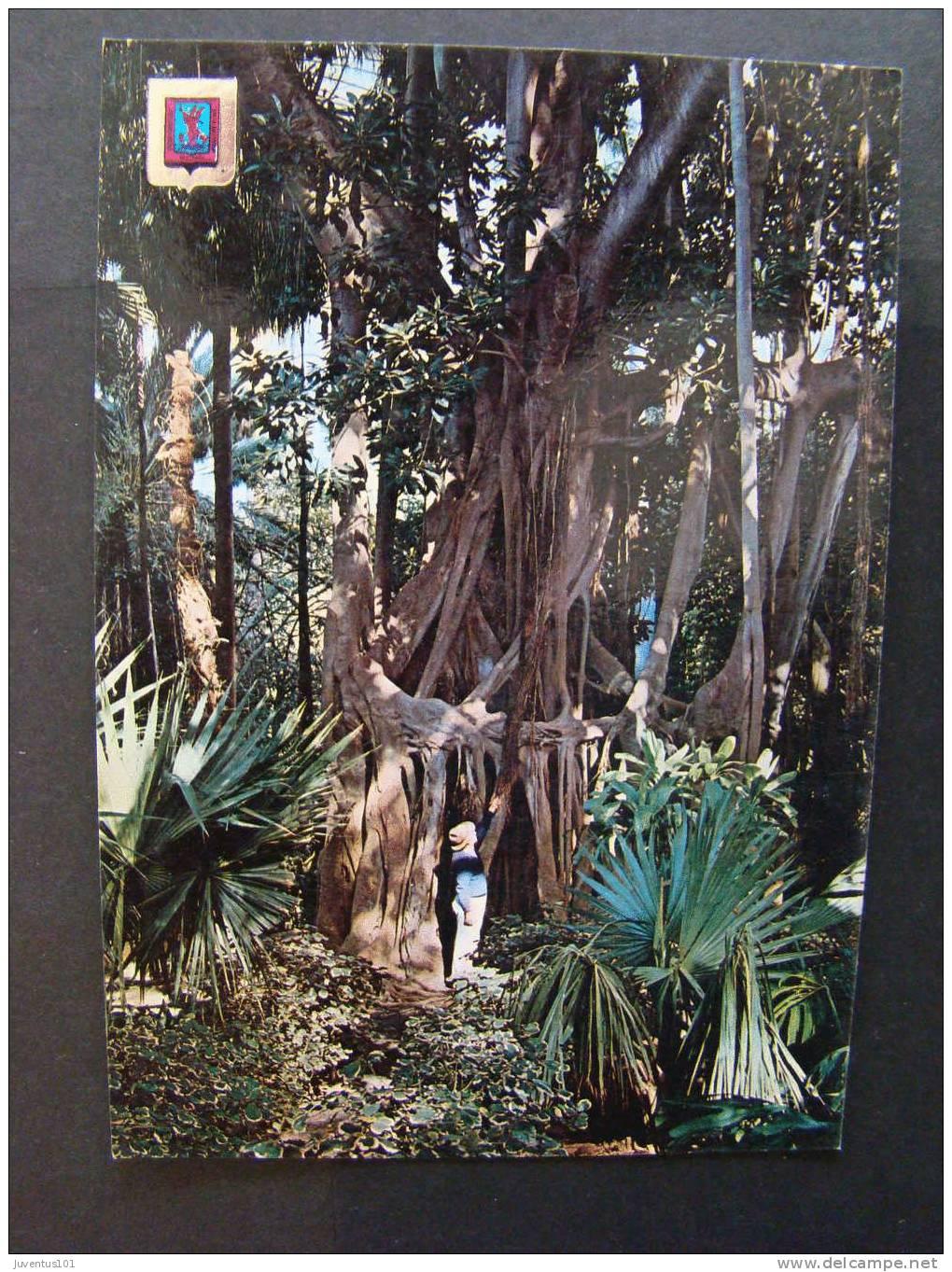 Cpsm espagne tenerife la orotava arbol del caucho en el for Arboles del jardin botanico