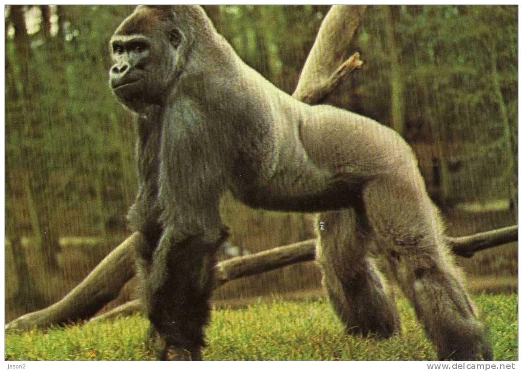Cpm MIGGER Gorille Ne Au Zoo De Bale En 1964? ARRIVE A LA PALMYRE EN 1980 - Singes