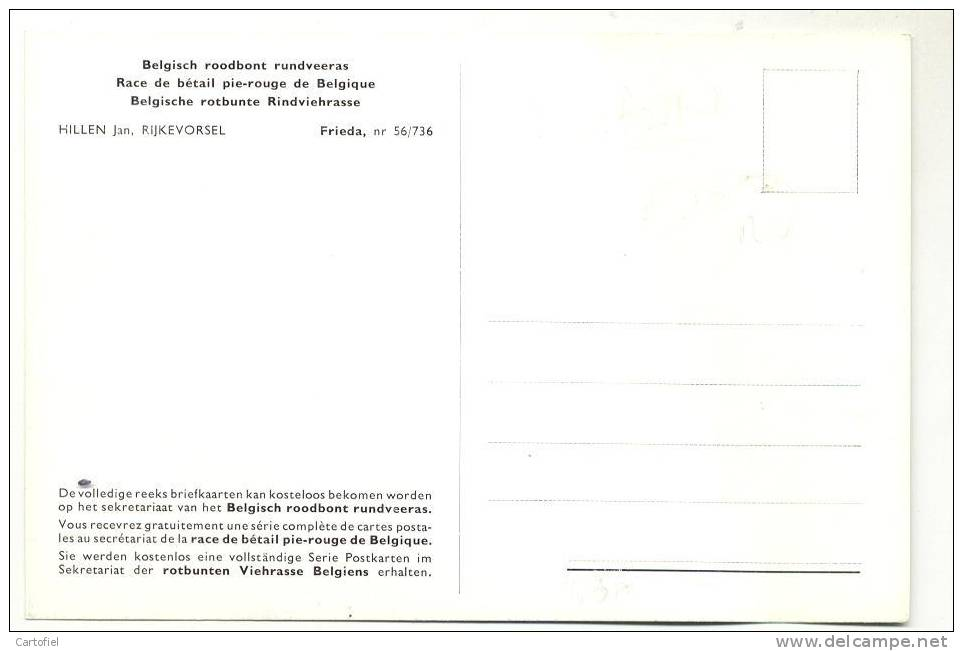 RIJKEVORSEL-BELGISCH ROODBONT RUNDVEERAS-2 SCANS-HILLEN JAN-FRIEDE-NR 56/736 - Rijkevorsel