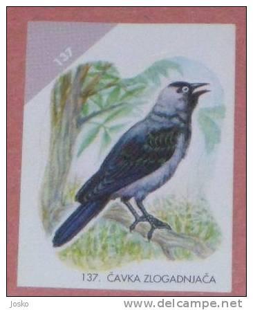 JACKDAW ( Croatia Sticker ) Choucas Grajo Dohle Taccola Bird Oiseau Ave Pajaro Vogel Uccello Birds Croatie Autocollant - Stickers