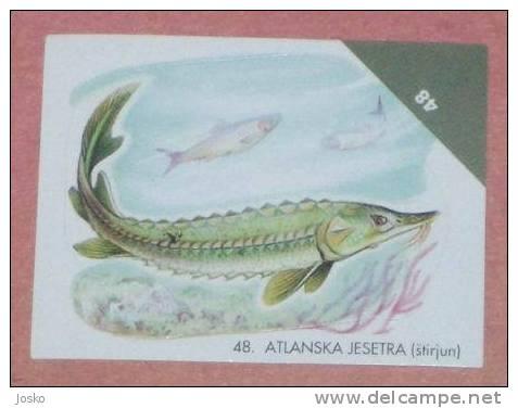 STURGEON ( Croatia Sticker ) Estirgeon Esturión Undesea Underwater Sea Marine Life Fish Poisson Croatie Autocollant - Unclassified