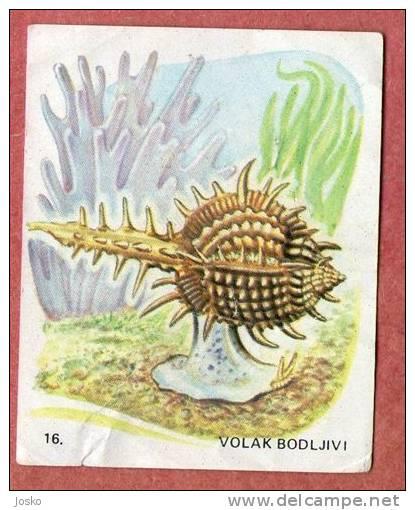 MUREX BRANDARIS ( Croatia Chocolate Card ) Purple Dye Murex Spiny Dye-murex Sea Snail Shell Seashell Coquille Escargot - Unclassified
