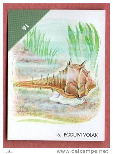 MUREX BRANDARIS ( Croatia Sticker ) Purple Dye Murex Spiny Dye-murex Sea Snail Shell Seashell Coquille Escargot - Unclassified