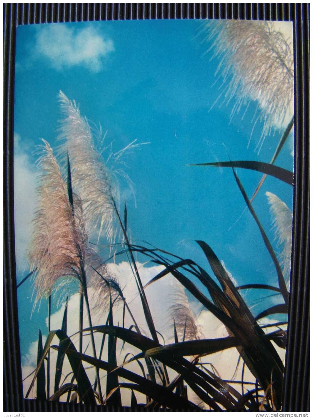 CPSM Flèches De Canne à Sucre   L676 - Cultures