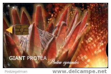 SOUTH AFRICA Giant Protea Tgax - South Africa