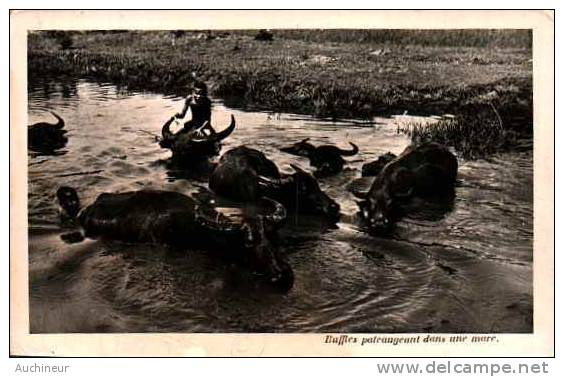 Buffles Pateaugeant Dans Une Mare - Vietnam