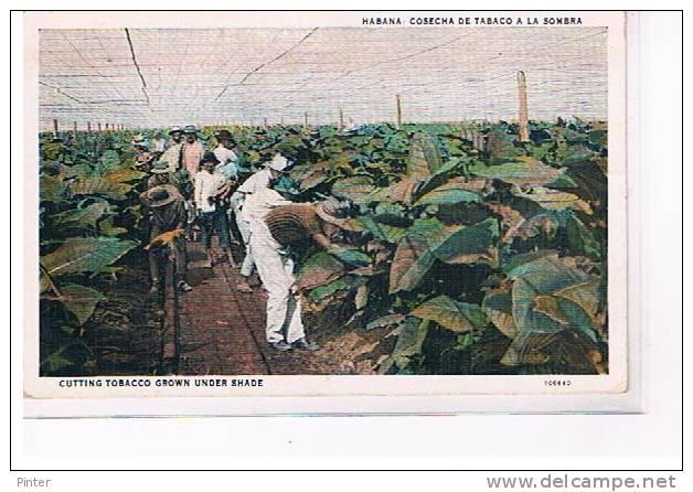 CUBA - HABANA - Cosecha De Tabaco A La Sombra - Cuba
