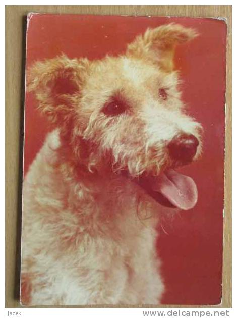 Dog  Chien  Hund / Wire Fox Terrier, Wire-Haired FoxTerrier    Large Format - Hunde