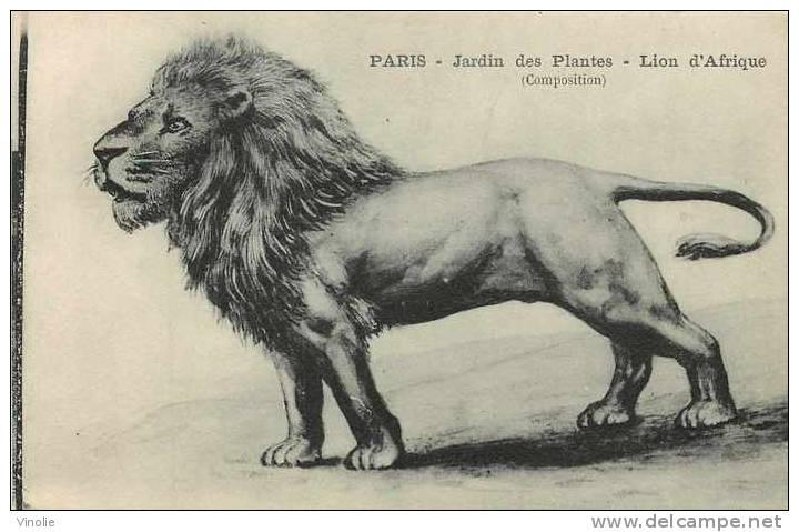 Animaux  Réf AN -24 : Paris : Jardin Des Plantes : Lion D´Afrique - Lions