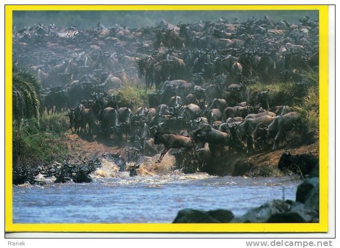 GF006 - Migration D'animaux Sauvages - KENYA - Kenya