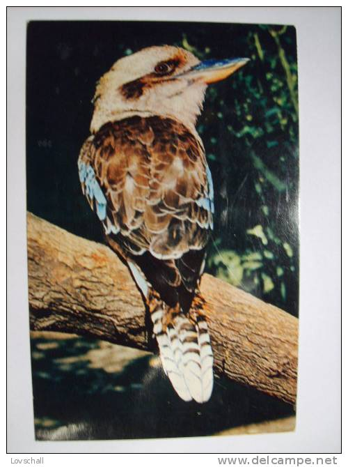 The Australian Kookaburra. - Non Classés