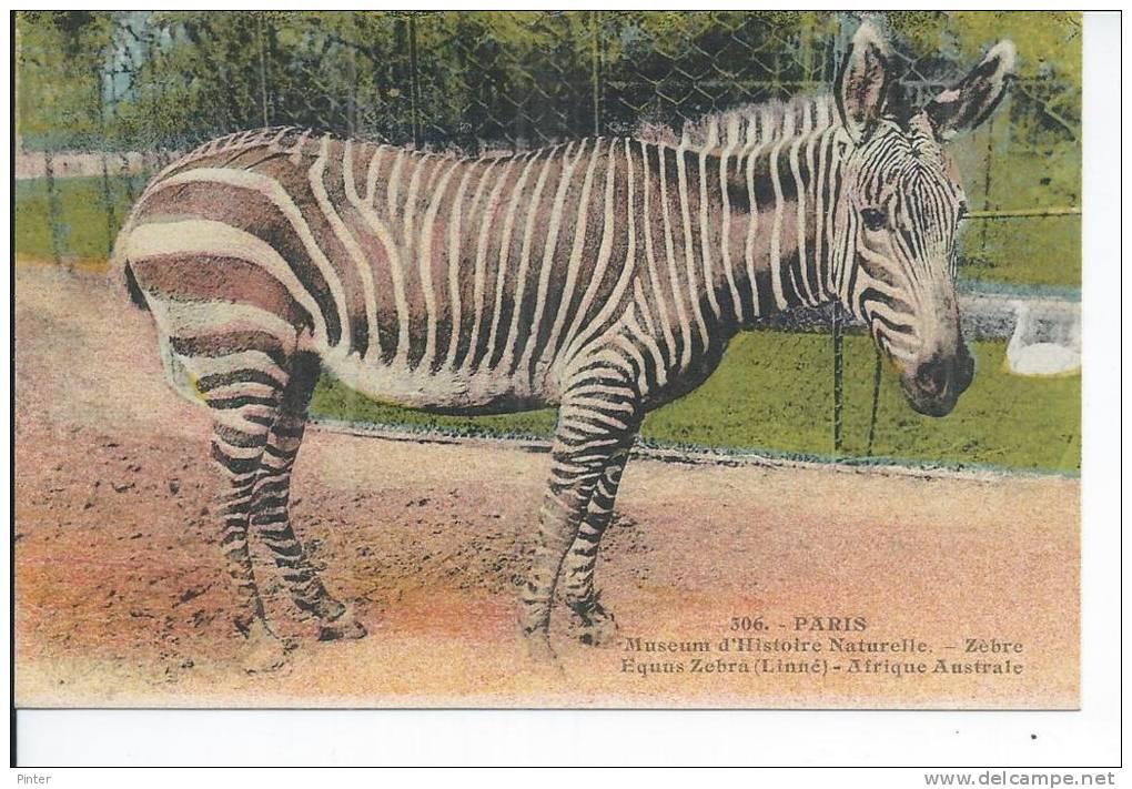 ZEBRE - Muséum D'Histoire Naturelle - Afrique Australe - Zebra's