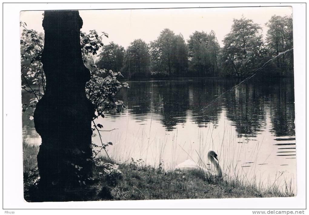 B4021   RAVELS : Hof Ter Beuken ( Zwaan, Swan, Cygne, Schwäne) - Arendonk
