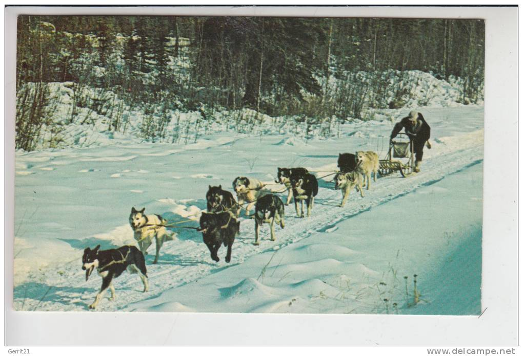 TIERE - HUNDE - Alaska - Schlittenhunde - Sleddogs -.a Crack Dog Team - Hunde