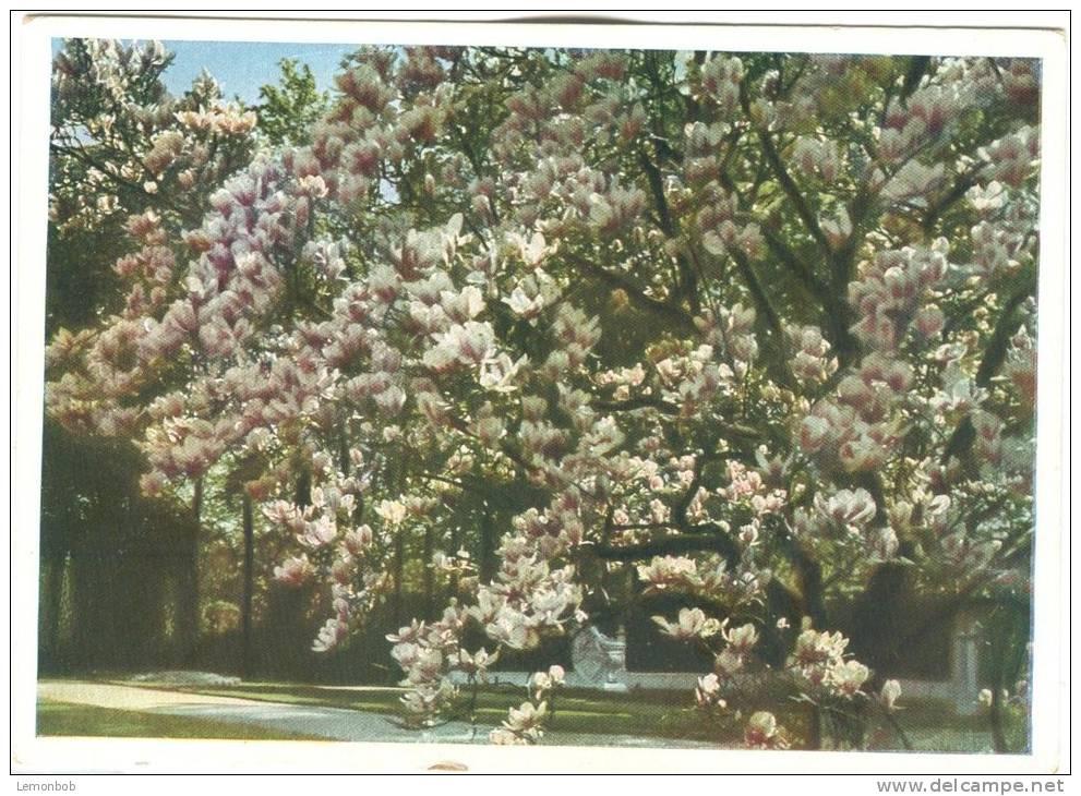 Germany, Die Grosse Magnolie, Auf Der Terrasse Des Schlosses Sanssouci, Unused Postcard [13303] - Potsdam