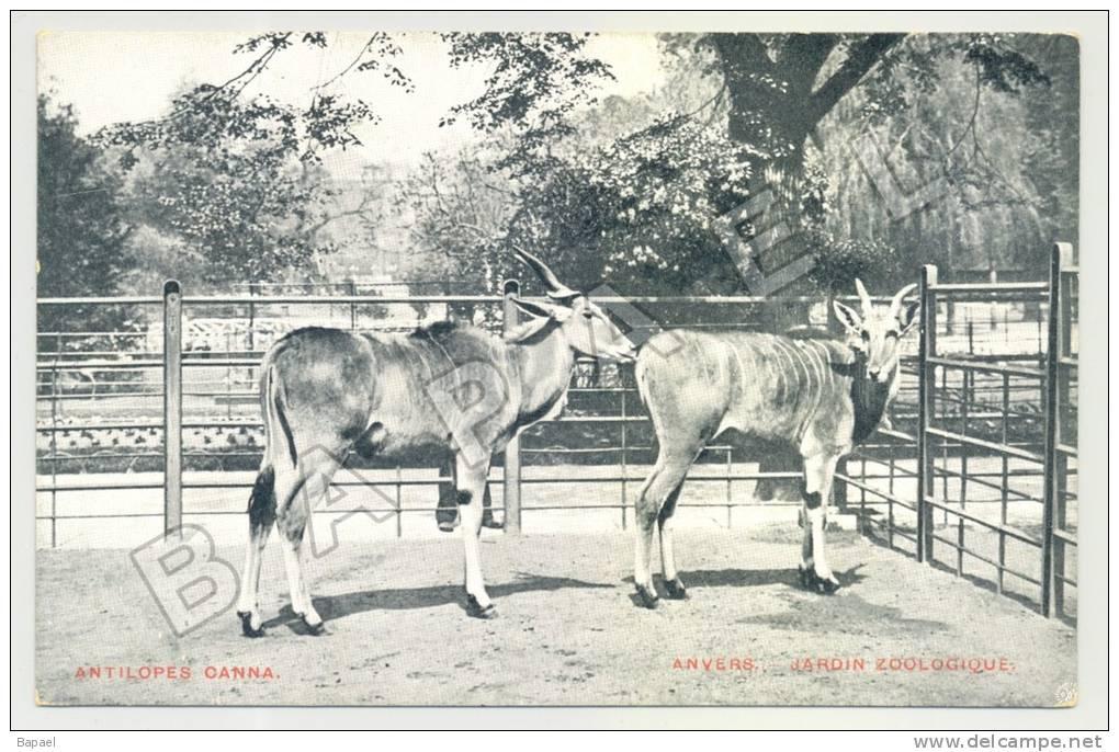 Anvers (Belgique) - Jardin Zoologique - Antilopes Canna (JS) - Animaux & Faune