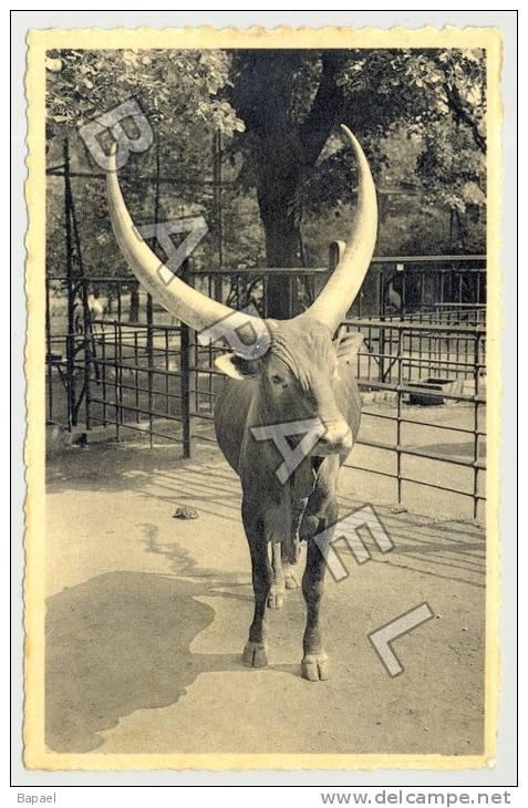 Anvers (Belgique) - Jardin Zoologique - Boeuf Watussi - Circulé En 1947 (JS - Animaux & Faune