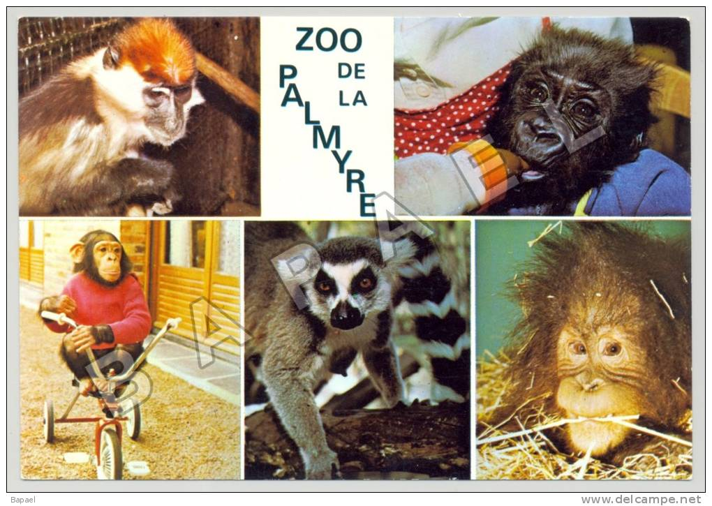 Les Mathes (17) - Zoo De La Palmyre - Singes Divers (JS) - Singes