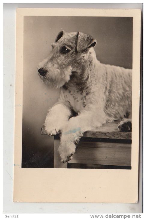 TIERE - HUNDE - FOXTERRIER, 1957 - Hunde