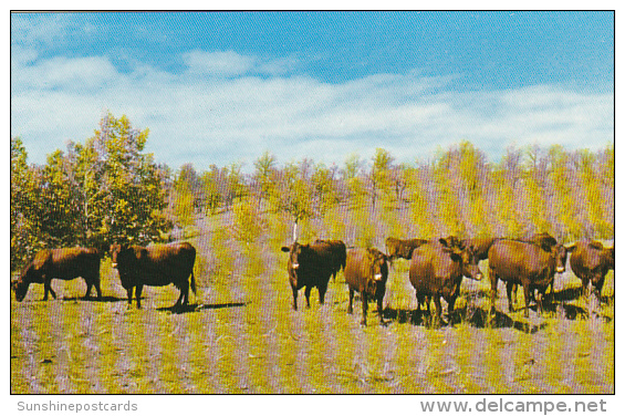Canada Dual Purpose Herd Of Red Poll Cattle Crystal City Manitoba - Manitoba