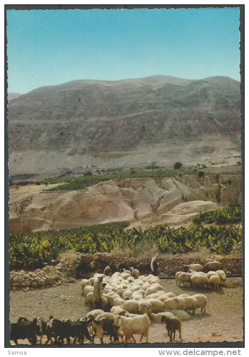 Jordanie - Kingdom Of Jordan - Moutons - Flock Of Sheep - Jordanie