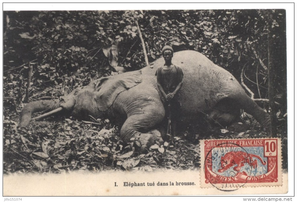 Elèphant Tuè Dans La Brousse - Congo - Brazzaville