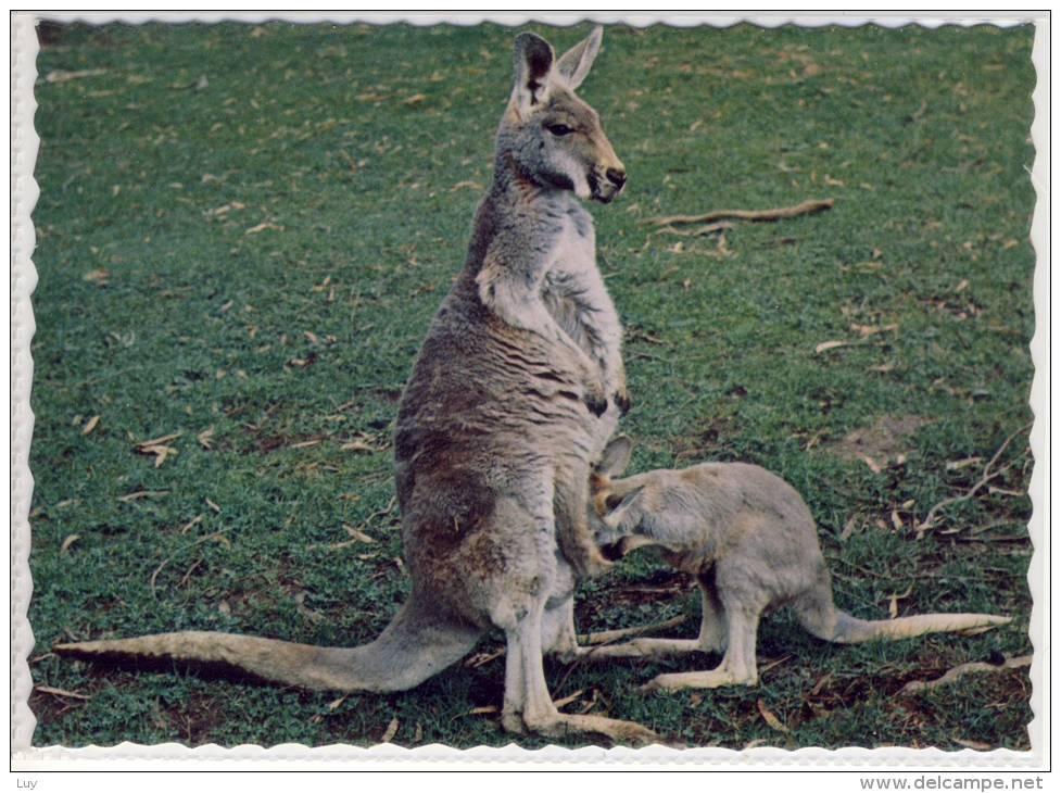 AUSTRALIAN KANGAROOS - Female Kangaroo With Her Baby (Joey) Inspecting Her Pouch - Kangaroo Islands