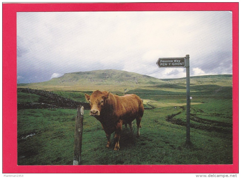Postcard Of Cow, Bull On The Pennine Way, B3. - Mucche