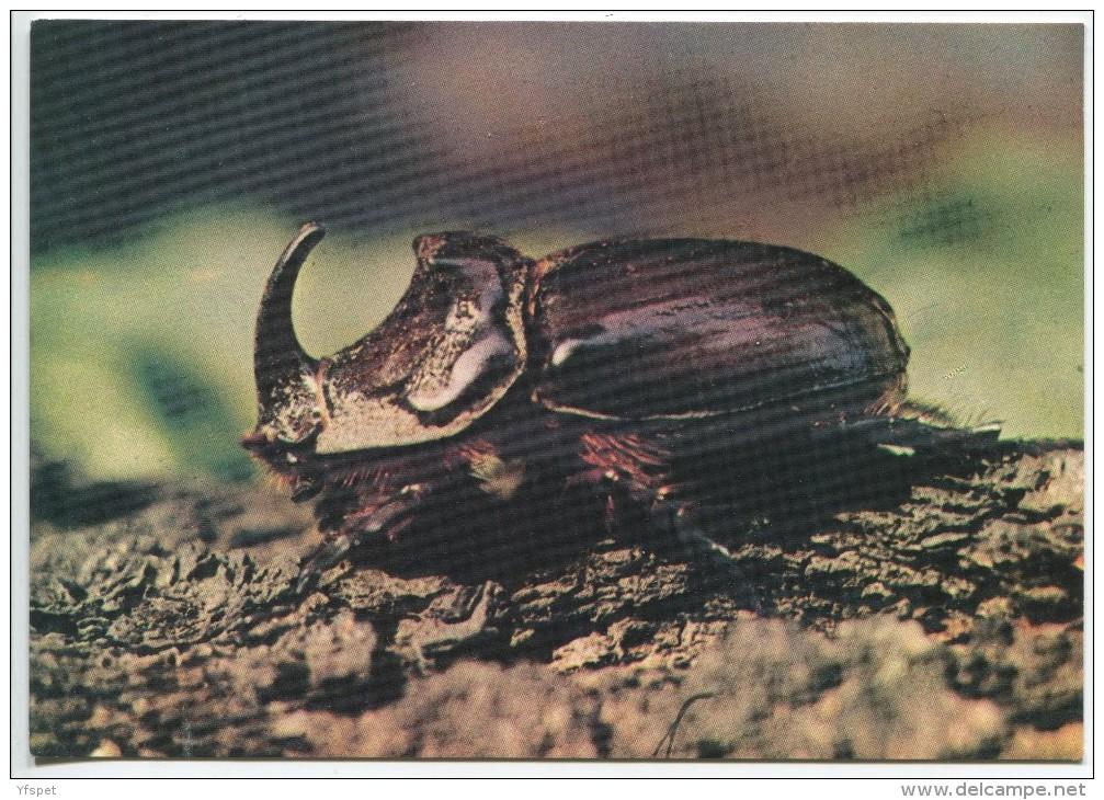 Rhinoceros Beetle - Oryctes Nasicornis - Insectes