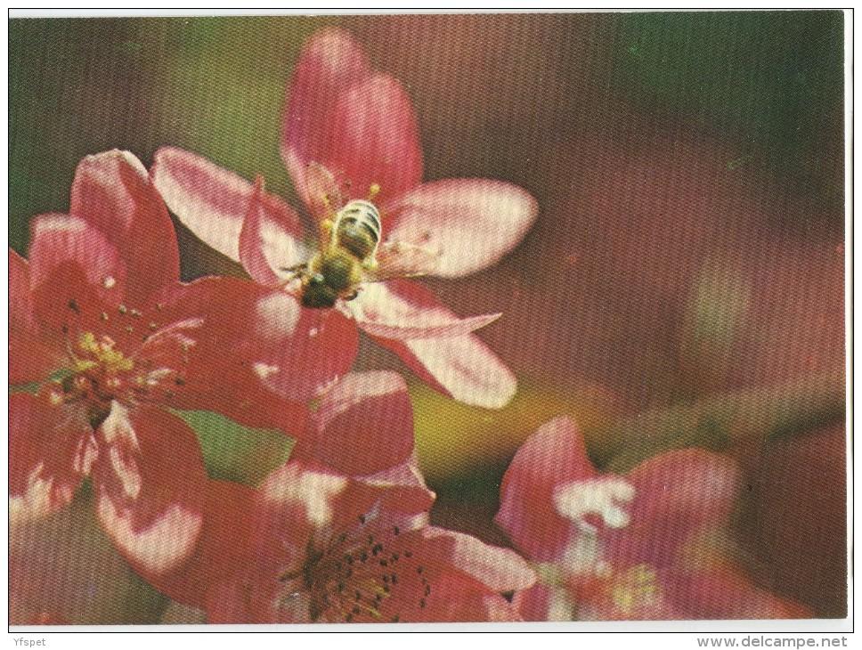 Honey Bee - Apis Melifera - Insectes