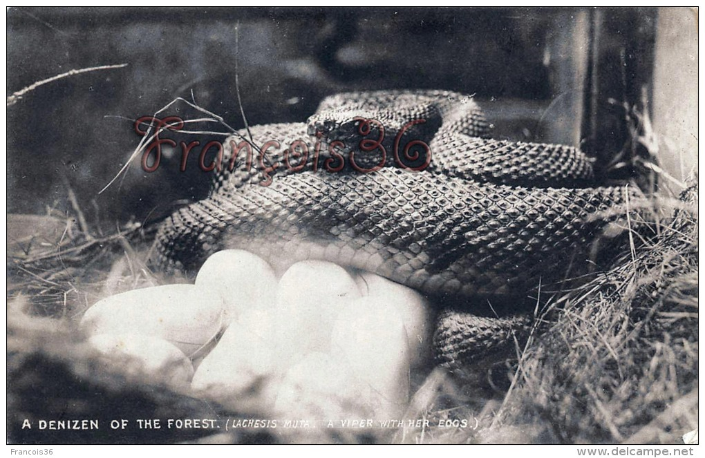 Trinidad - A Denizen Of The Forest - Lachesis Muta A Viper Vipère With Her Edgs - 2 SCANS - Trinidad