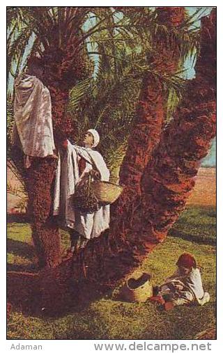 Afrique Du Nord    9     La Récolte Des Dattes - Cartes Postales