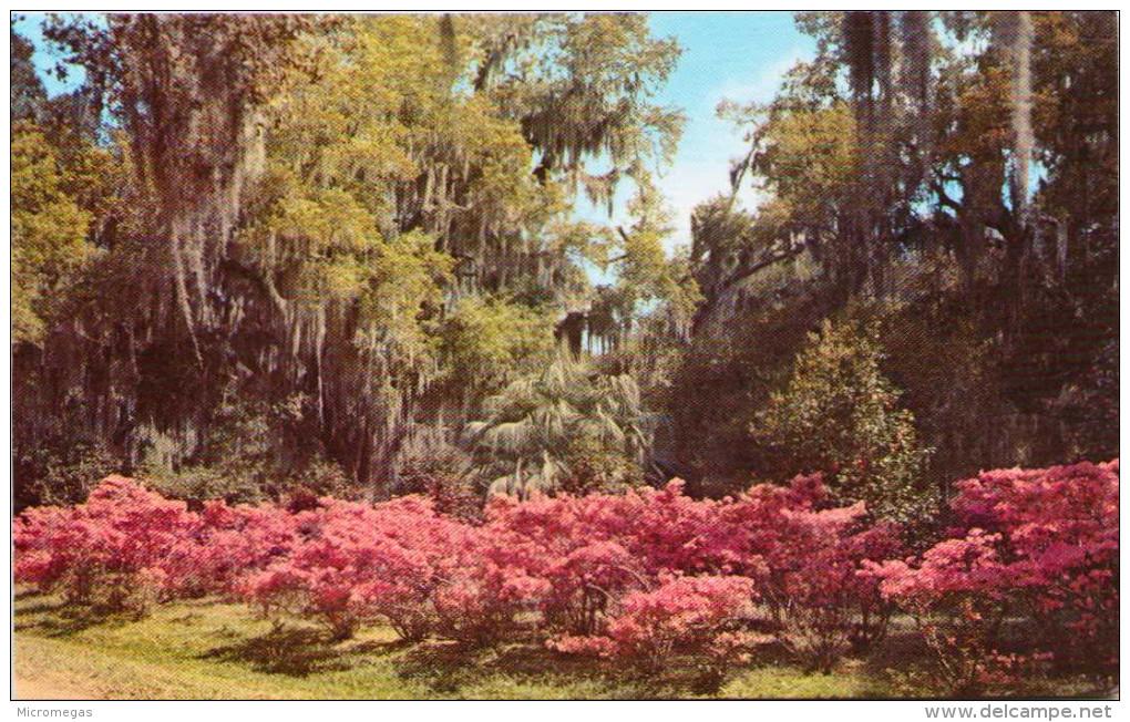 Azaleas And Oaks, Louisiana - Non Classés
