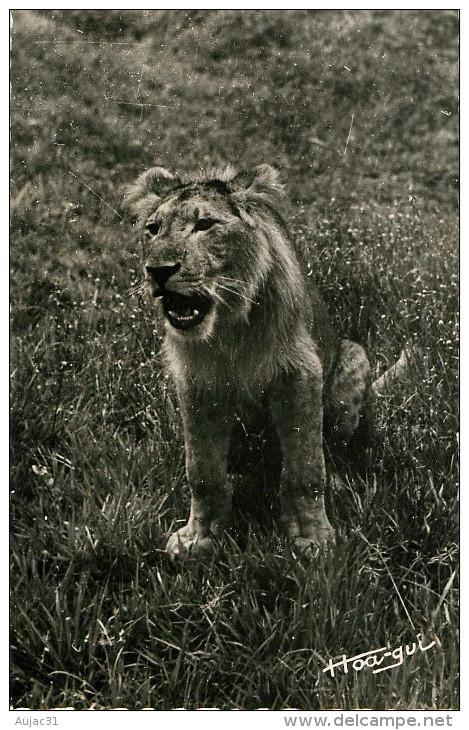 Afrique - Animaux - Lions - Faune Africaine - Jeune Lion - Hoa Qui - Semi Moderne Petit Format - Bon état Général - Cartes Postales