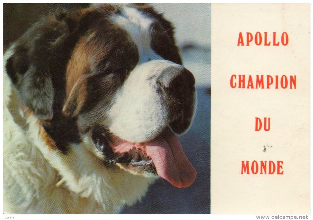 Chien Apollo De L'élevage Du Petit St-Bernard. Champion Du Monde. - Chiens