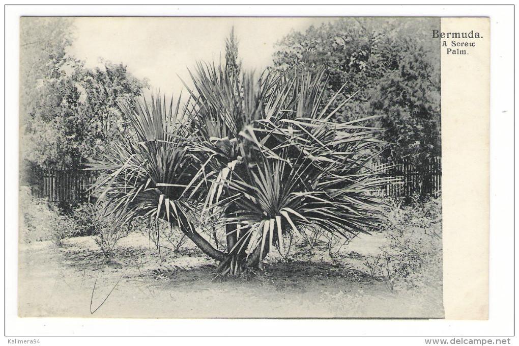 BERMUDA  ( îles  Bermudes ) /  A  SCREW  PALM  ( Arbre Tropical ) /  CPA  PRECURSEUR  ( éditée Avant 1904 ) . - Bermudes
