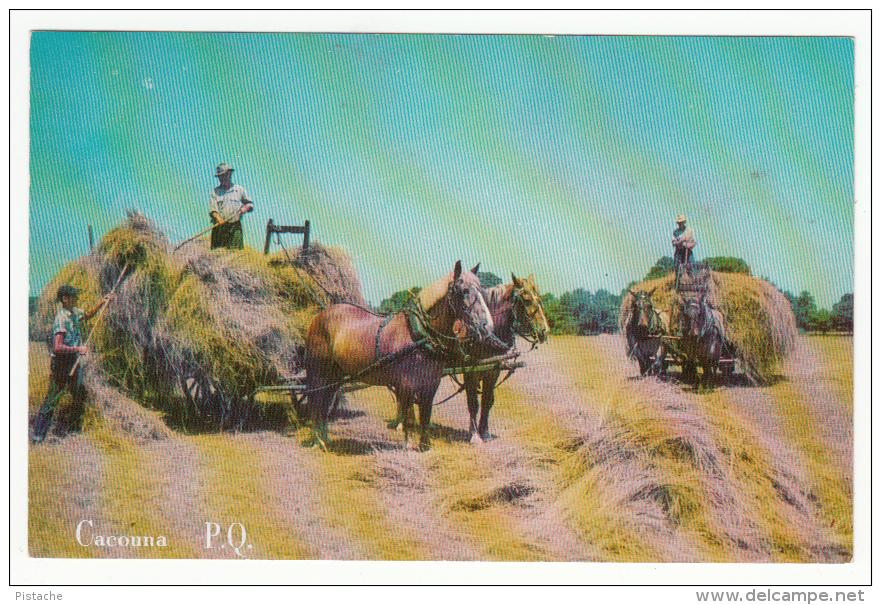 Cacouna P.Q. Québec Canada - Hay Season -Saison Des Foins - Horses Agriculture - 2 Scans - Quebec