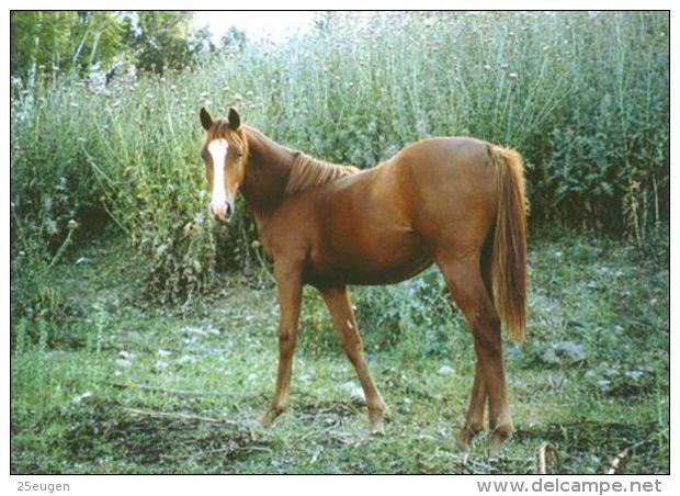 HORSES / PFERDE / CHEVAUX /    POSTCARD UNUSED     ( H  4441 ) - Pferde
