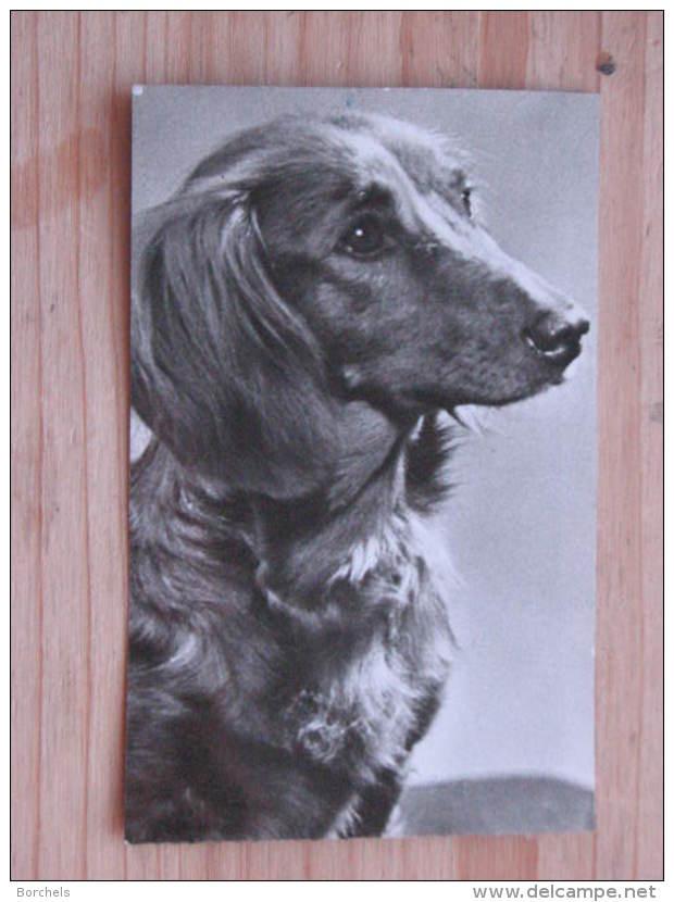 """Hund035 : Dackel - """"Waldi"""" - Postalisch Versandt - 4seitig Beschnitten - Hunde"""