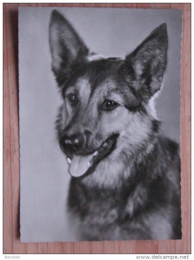 Hund055 : Hunde - Schäferhund - Ungelaufen - Gut Erhalten - Hunde