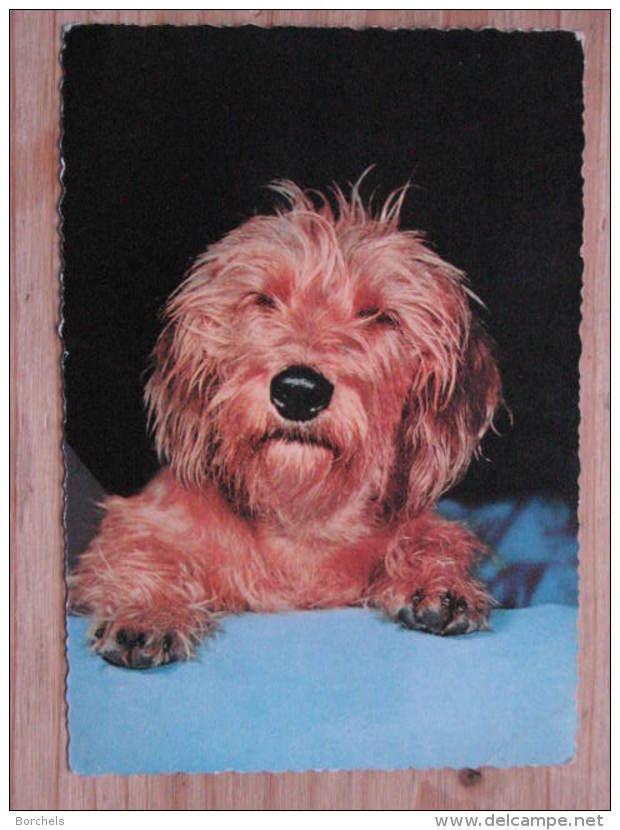 Hund057 : Hunde - Kleiner Hund - Col. - Ungelaufen - Gut Erhalten - Hunde