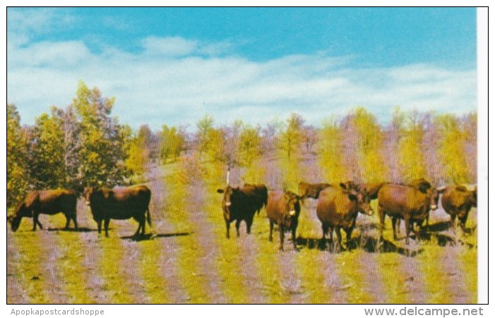 Canada Part Of Dual Purpose Herd Of Red Poll Cattle A G Howard Crystal City Manitoba - Manitoba